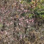 早咲きの梅の花??色が濃い