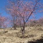 白山満開の桜