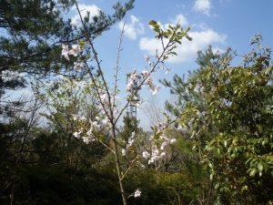 s-桜の幼木